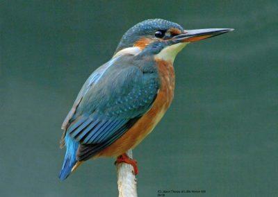 KingfisherLN01PPt[1]